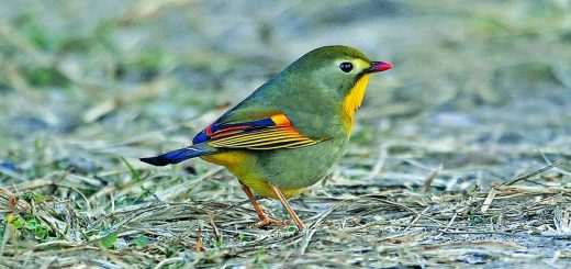 Red-billed leothrix Pangot- Uttrakhand